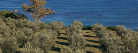 Oliu di Corsica