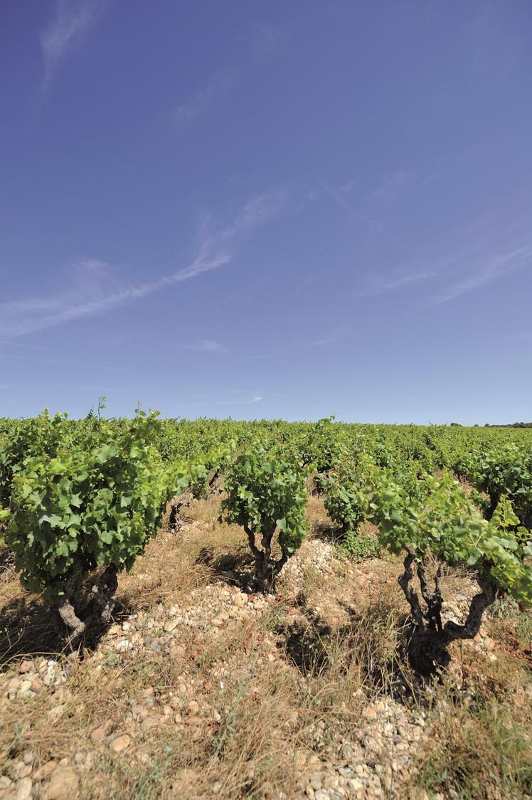 La Célestière vignes BD