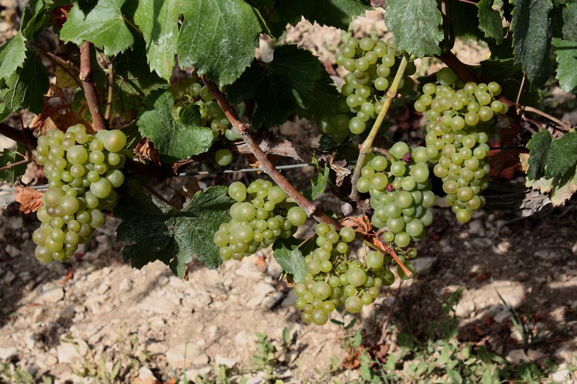 Les raisins à la fin du mois d'août