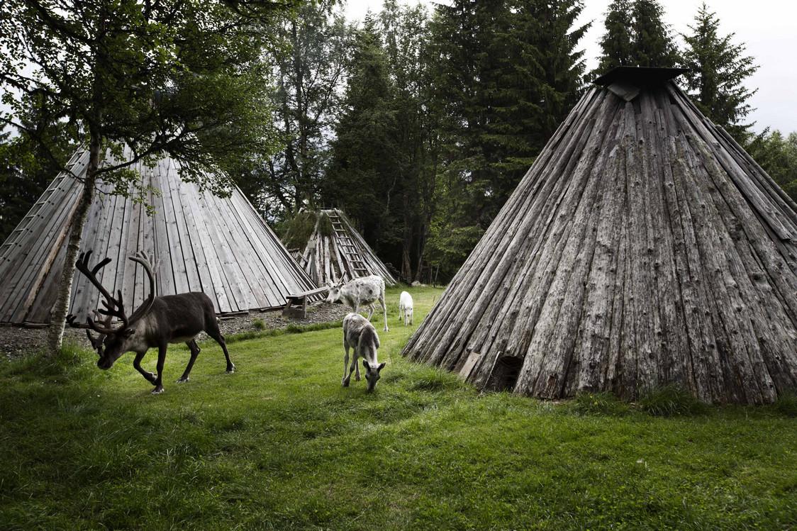 élevage  semi sauvage  des  rennes par les  Samis