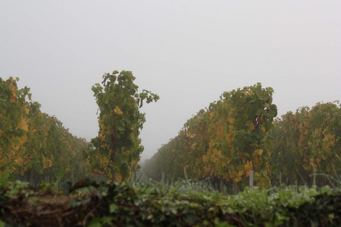 Vignes d'Angélus au petit matin © P.Faus
