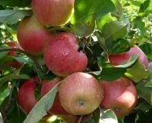 Jus de Pomme des vergers de la Silve