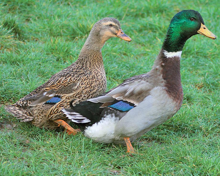 canard-de-rouen-clair-fonce-incubation-male-femelle-elevage-vente