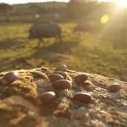 Du gland à la découpe ou Une vie de Cochon à Jabugo