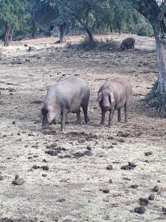 Cochons en liberté © Gourmets&co