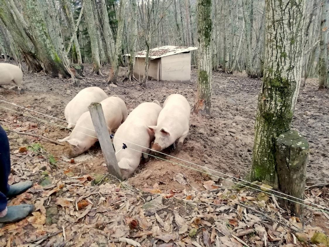 Petis cochons ne deviendront pas grands ©Gourmets&co