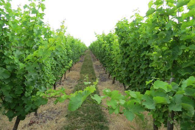 Vignes de La Tuffière