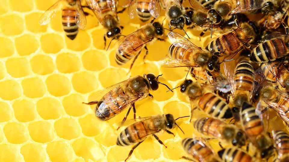honey-bees-326337_960_720-3580111