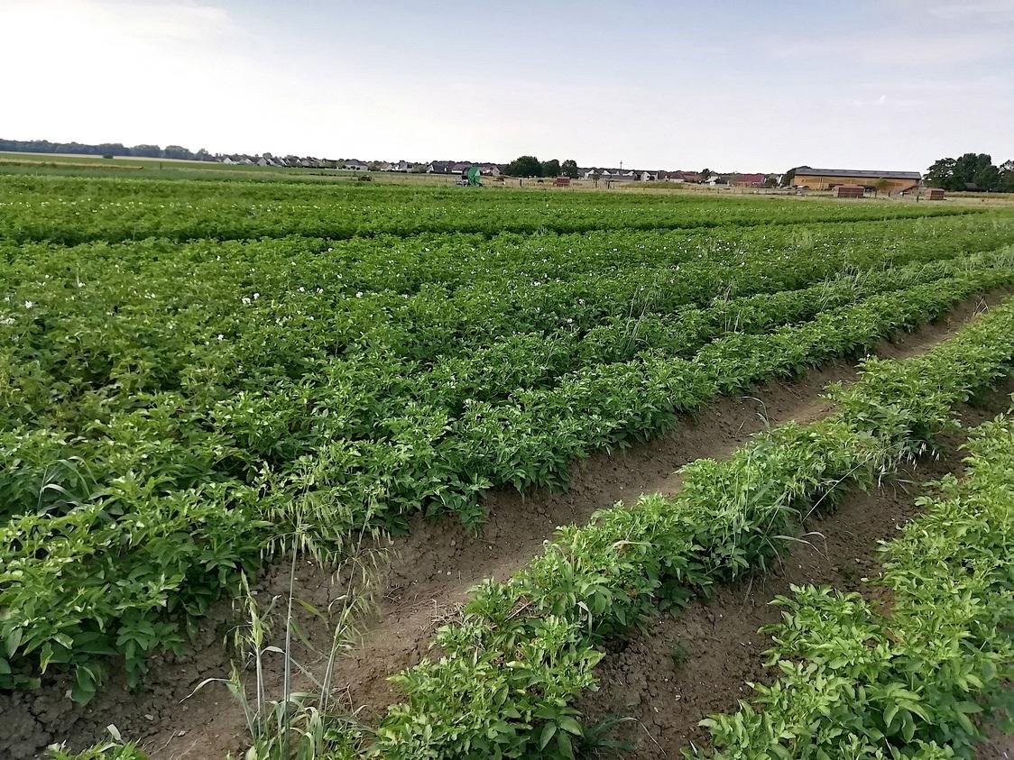 Champ de pommes de terre bio © Gourmets&co