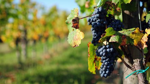 grape-field-xlarge_5802259